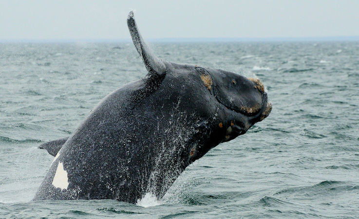 Südliche Glattwale sind zwischen 15 -18 m lang und wiegen 45 – 80 Tonnen. Ihre Wanderrouten sind