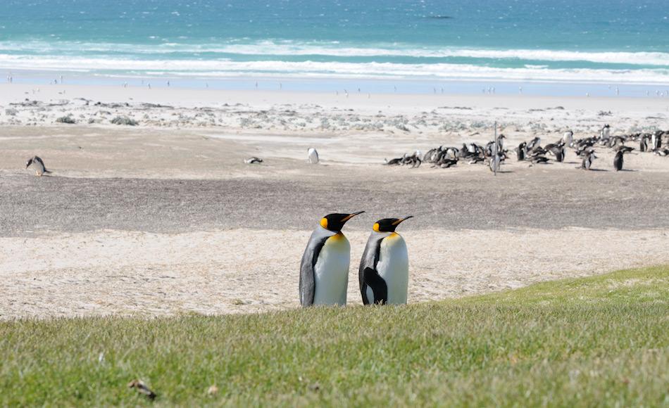 Die nördlichste Population von Königspinguinen findet sich nördlich der Konvergenzlinie, in den fischreichen Gewässern der Falklandinseln. Doch auch dort droht den Tieren wärmeres Wasser und Ölförderung die Nahrungsgrundlage zu entziehen. Bild: Michael Wenger