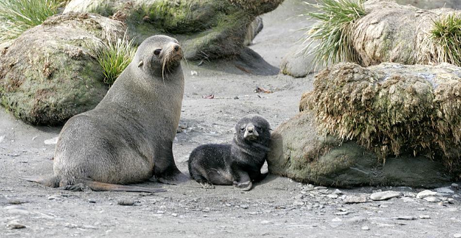 Pelzrobben sind überall auf den subantarktischen und antarktischen Inseln beheimatet. Früher wurden sie wegen ihres Pelzes fast an den Rand der Ausrottung gebracht...