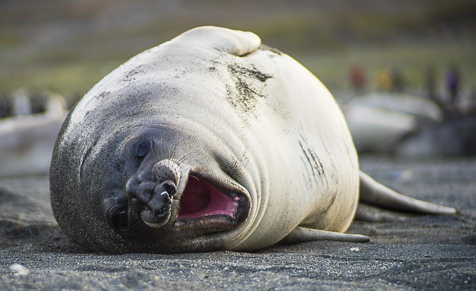 Viele Tiere haben in der Antarktis ihre Kinderstube. Aufgrund der hohen Produktivität des Südpolarmeeres, bringen sie hier bevorzugt ihre Jungen zur Welt, wie zum Beispiel dieses südliche See-Elefanten Baby. Bild: Katja Riedel