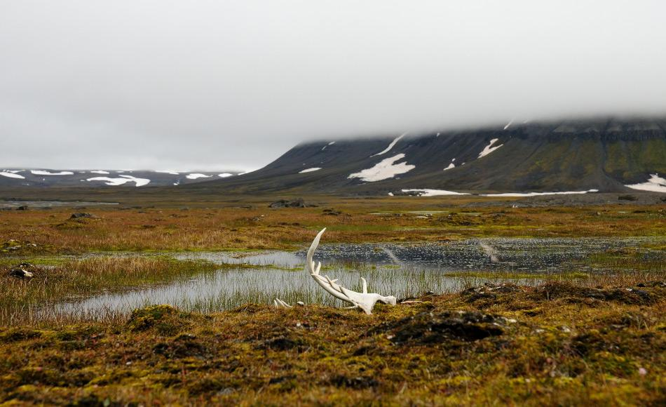 Während die Zahl der Jäger in Svalbard in den letzten Jahren immer weiter zurückging, stieg die Zahl der Rentiere stetig an und verdoppelte sich beinahe in den letzten 20 Jahren. Die Tiere sterben heutzutage entweder alterbedingt oder aufrgund von natürlichen Ereignissen wie zuviel Eis. Bild: Michael Wenger