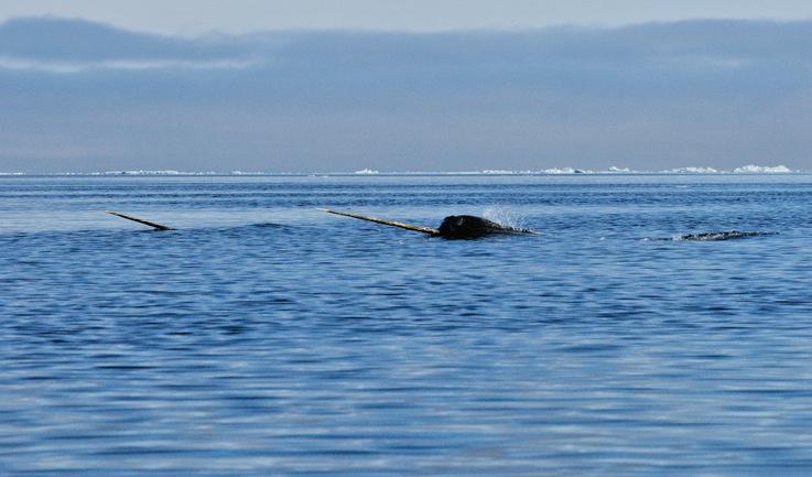 """Narwale nennt man auch """"Einhörner der Meere"""" aufgrund ihres langen Stosszahnes, der ein"""