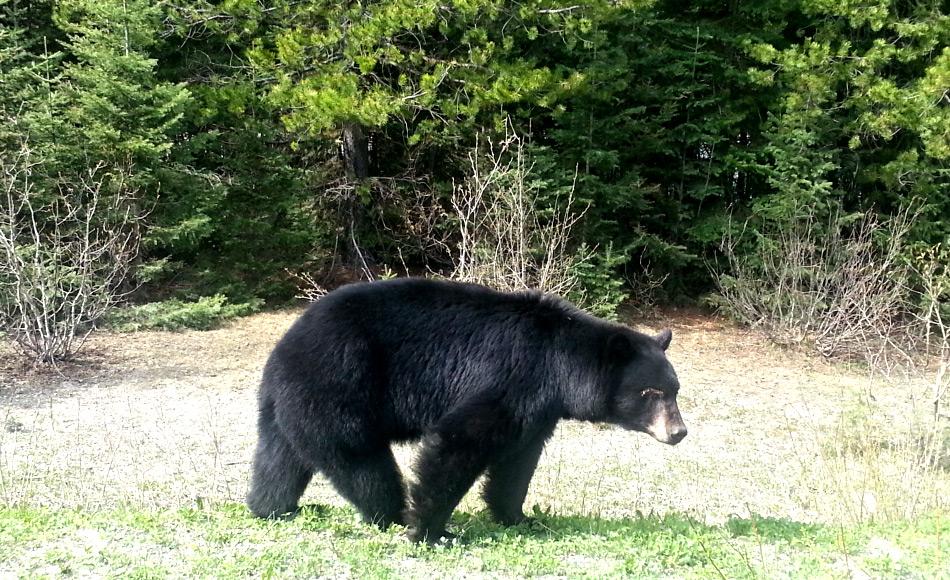 Andere Bärenarten in Nordamerika sind die Grizzlies und Schwarzbären. Beide haben begonnen, weiter nach Norden zu drängen im Zuge des wärmer werdenden Klimas in Kanada. Begegnungen mit Eisbären haben dadurch zugenommen. Bild: Michael Wenger