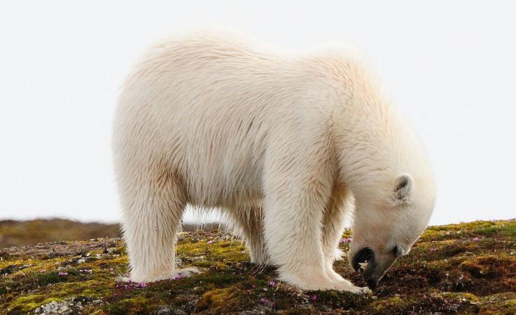 Vögel in der Arktis haben keine andere Wahl als ihre Nester auf dem Boden anzulegen. Dadurch