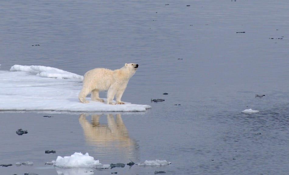 Eisbären sind das Sinnbild der Arktis. Doch in Kanada und Grönland wird das Tier unter Auflagen immer noch gejagt, oft illegal. Damit die Produkte nicht von ahnungslosen Touristen einfach gekauft werden können, hat die AECO jetzt eine internationale und verbindliche Erklärung unterschrieben. Bild: Michael Wenger