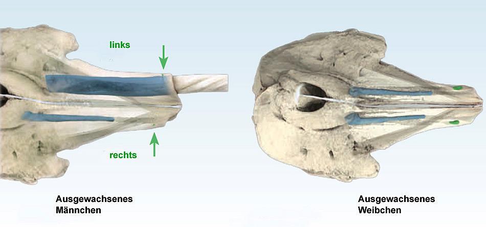 Das hervorstechende Merkmal der Männchen ist ihr Stosszahn. Es handelt sich dabei um den linken Eckzahn des Oberkiefers, der schraubenförmig gegen den Uhrzeigersinn gewunden die Oberlippe durchbricht und bis zu drei Meter lang werden kann.